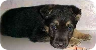 German Shepherd Dog Mix Puppy for adoption in North Judson, Indiana - Chelsie