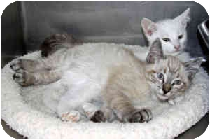 Siamese Kitten for adoption in McDonough, Georgia - Winky and Blinky