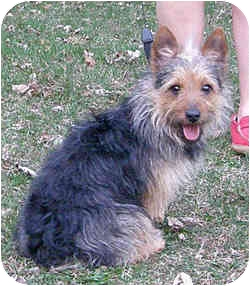 Yorkie, Yorkshire Terrier/Poodle (Toy or Tea Cup) Mix Dog for adoption in Loudonville, New York - Thumper