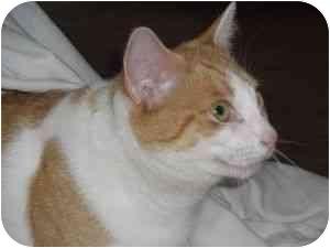 Domestic Shorthair Cat for adoption in Jenkintown, Pennsylvania - Missy