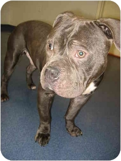 English Bulldog/American Staffordshire Terrier Mix Dog for adoption in Reisterstown, Maryland - Webster