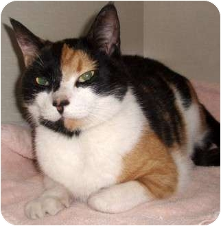 Calico Cat for adoption in Germansville, Pennsylvania - Carmella