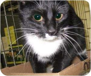Domestic Shorthair Cat for adoption in Stillwater, Oklahoma - Mario