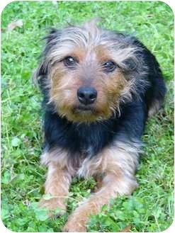 Norwich Terrier/Norfolk Terrier Mix Dog for adoption in Mocksville, North Carolina - Skip
