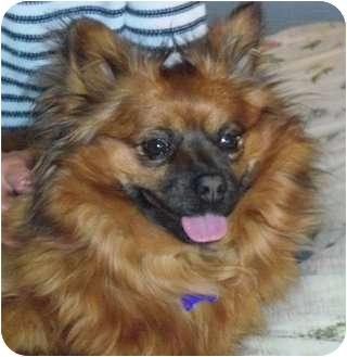 Papillon/Pomeranian Mix Dog for adoption in Hamburg, Pennsylvania - Pippi
