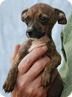 Boston Terrier/Chihuahua Mix Puppy for adoption in Providence, Rhode Island - Chica