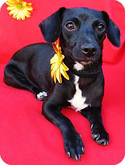 Dachshund/Terrier (Unknown Type, Small) Mix Dog for adoption in Irvine, California - Eliza Jane