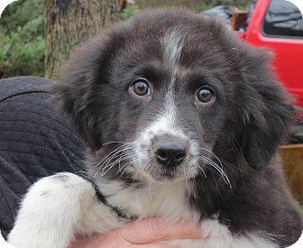 Border Collie Mix Puppy for adoption in Beacon, New York - Cody