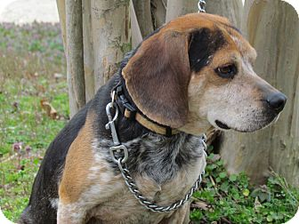 Beagle Dog for adoption in Humboldt, Tennessee - DEPUTY