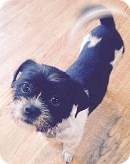 Shih Tzu/Boston Terrier Mix Dog for adoption in Atlanta, Georgia - Levi