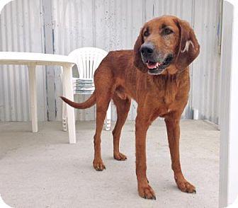 Coonhound Mix Dog for adoption in Camano Island, Washington - Big Mac