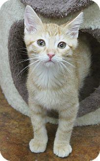 Domestic Shorthair Kitten for adoption in Benbrook, Texas - Argo