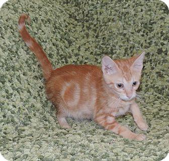 Domestic Shorthair Kitten for adoption in Plano, Texas - CRIMSON