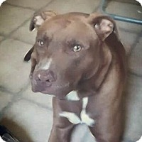 Adopt A Pet :: Sarge - Covington, TN
