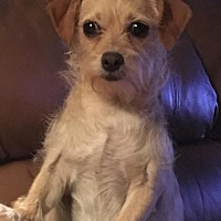 Chihuahua/Terrier (Unknown Type, Medium) Mix Dog for adoption in Fresno, California - Sassy