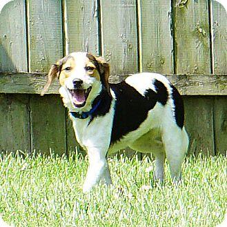 Beagle Mix Puppy for adoption in Lisbon, Iowa - Reeta