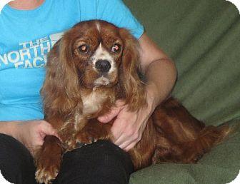 Cavalier King Charles Spaniel Dog for adoption in Allentown, Pennsylvania - Scarlett