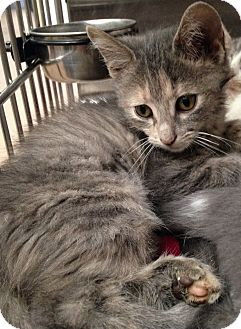 Domestic Shorthair Kitten for adoption in Covington, Kentucky - Poppy