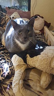 Russian Blue Cat for adoption in Lauderhill, Florida - Coors