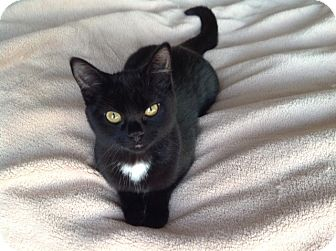 Domestic Shorthair Kitten for adoption in Bloomington, Minnesota - Hannah