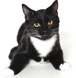 Domestic Shorthair Kitten for adoption in Gloucester, Virginia - BOOGER