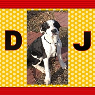 English Bulldog Mix Dog for adoption in Madison, Alabama - DJ