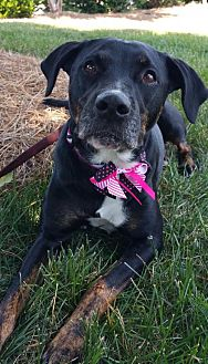 Plott Hound/Labrador Retriever Mix Dog for adoption in Cary, North Carolina - Presley