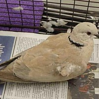 Adopt A Pet :: A1707778 - Los Angeles, CA