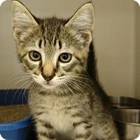 American Shorthair Cat for adoption in New Bern, North Carolina - Tina