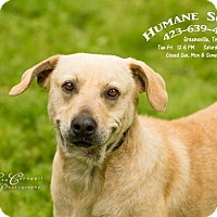 Labrador Retriever Mix Dog for adoption in Greeneville, Tennessee - Charlie