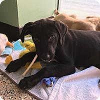 Adopt A Pet :: Remington - Thousand Oaks, CA