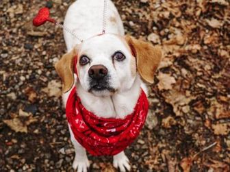Beagle Mix Dog for adoption in New Freedom, Pennsylvania - Giordano