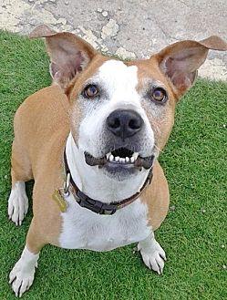 American Pit Bull Terrier Mix Dog for adoption in Phoenix, Arizona - Mango