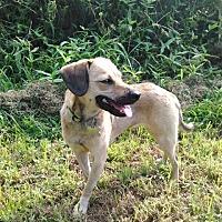 Dachshund/Terrier (Unknown Type, Medium) Mix Dog for adoption in Providence, Rhode Island - Bonnet RH CP