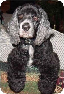Cocker Spaniel Dog for adoption in Sugarland, Texas - Kirby