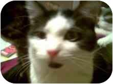 Domestic Shorthair Cat for adoption in Proctor, Minnesota - Ranger