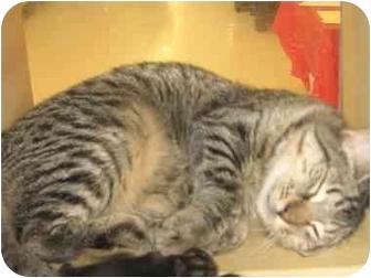 Domestic Shorthair Cat for adoption in Norwalk, Connecticut - Bingo