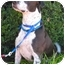 Photo 1 - Labrador Retriever/Pointer Mix Dog for adoption in Portland, Oregon - Ziggy-VIDEO!!!!!