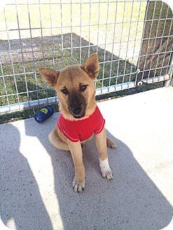 Shepherd (Unknown Type) Mix Dog for adoption in Corpus Christi, Texas - Koby