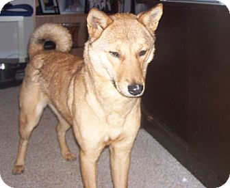 Jindo/Shiba Inu Mix Dog for adoption in Manassas, Virginia - Yobi