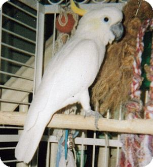 Cockatoo for adoption in Wantage, New Jersey - Taxi
