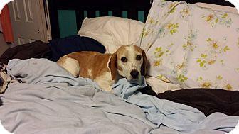 Beagle Dog for adoption in Buffalo, New York - Clover