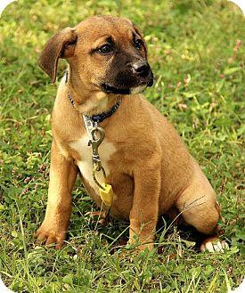 Boxer/Labrador Retriever Mix Puppy for adoption in Hagerstown, Maryland - Maegan