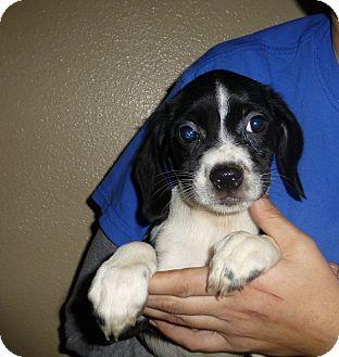 Schnauzer (Miniature)/Beagle Mix Puppy for adoption in Oviedo, Florida - Tulip