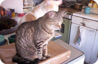 Domestic Shorthair Cat for adoption in detroit, Michigan - MITZIE