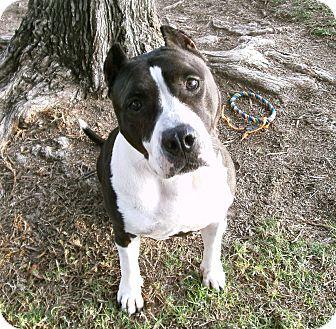 Staffordshire Bull Terrier Mix Dog for adoption in El Cajon, California - Judy