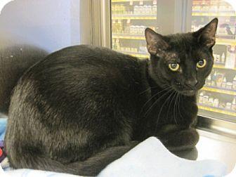 Domestic Shorthair Cat for adoption in Houston, Texas - Darth