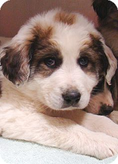 Great Pyrenees Mix Puppy for adoption in Tulsa, Oklahoma - Happy  Pending Adoption