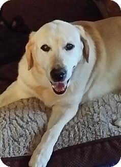 Labrador Retriever Dog for adoption in Phoenix, Arizona - Miley aka Charlie