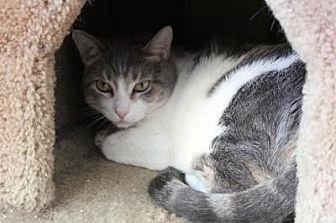 Domestic Shorthair Cat for adoption in Sebastian, Florida - Snacks